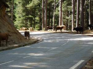 les_vaches